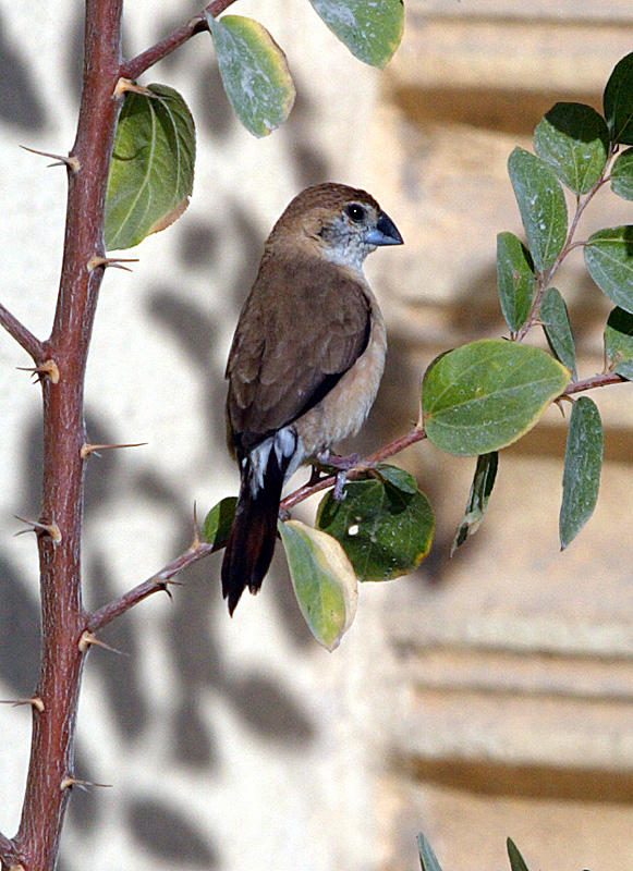 Indian Silverbill and my Q