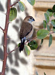 Title: Indian Silverbill and my Q