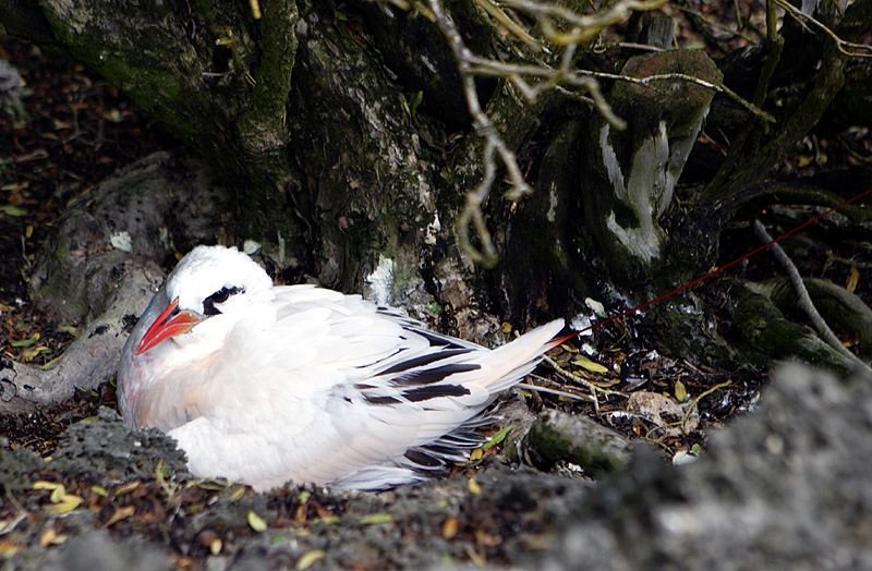 Red-Tailed Tropicbird or Silver Bosun