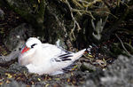 Title: Red-Tailed Tropicbird or Silver BosunCanon EOS 1Ds MkII