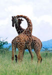 Title: Sparring Reticulated Giraffe