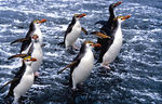 Title: Royal Penguins on Macquarie Island