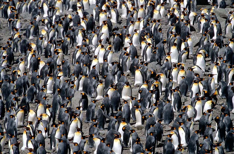 Everyday Life in a King Penguin Colony