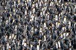 Title: Everyday Life in a King Penguin Colony