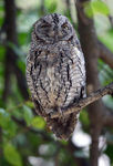 Title: Scops Owl for Anna - Miss Piggy