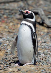 Title: Snoozing Magellanic Penguin
