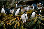 Title: Snares-Crested Penguins