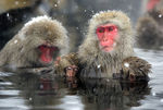 Title: Snow Falling Softly on Monkeys - 300th