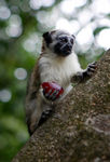 Title: Geoffrey's Saddle-Backed Tamarin