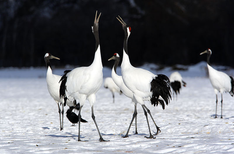 Tancho - Red Crowned Cranes