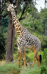 Title: The Rare Thornycroft's Giraffe