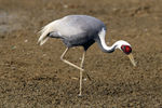Title: White Naped Crane - for nglen