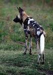 Title: African Wild Dog in the Wild