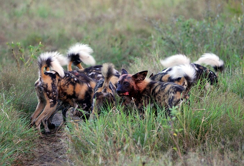 Painted Dogs at a Kill