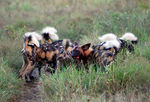 Title: Painted Dogs at a Kill