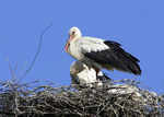 Title: Young Storks