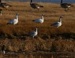 Title: snow geese
