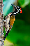 Title: Lesser Goldenbacked WoodpeckerNikon D200