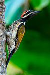 Title: Lesser Goldenbacked Woodpecker
