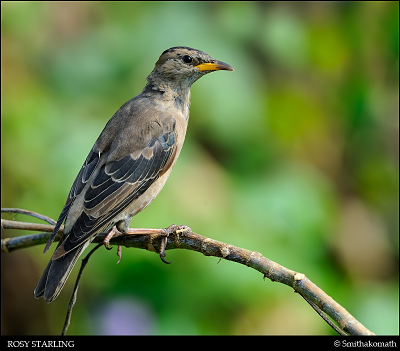Rosy Starling - winter plumage