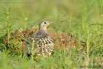 Title: Indian Sandgrouse