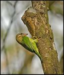 Title: Small Green Barbet building a nest