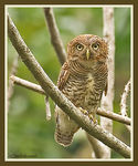 Title: Barred Jungle Owlet