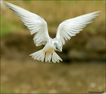 Title: Indian Whiskered Tern