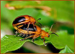 Title: Mating Bugs
