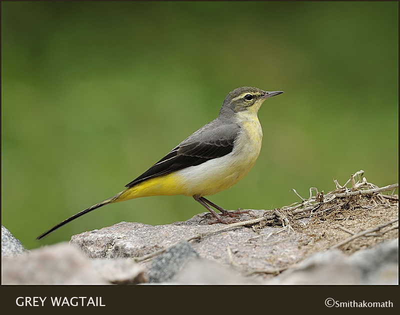 Grey Wagtail for Fatih Izzler :)