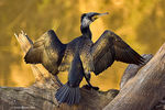 Title: Great CormorantCanon 1D MkII N