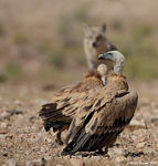Title: Griffon Vulture and Wolf