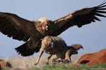 Title: Griffon Vulture and Jackal