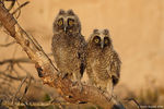 Title: Long-eared Owl Camera: Canon 1D MkII N
