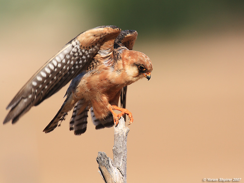 Red-footed Falcon (Female)