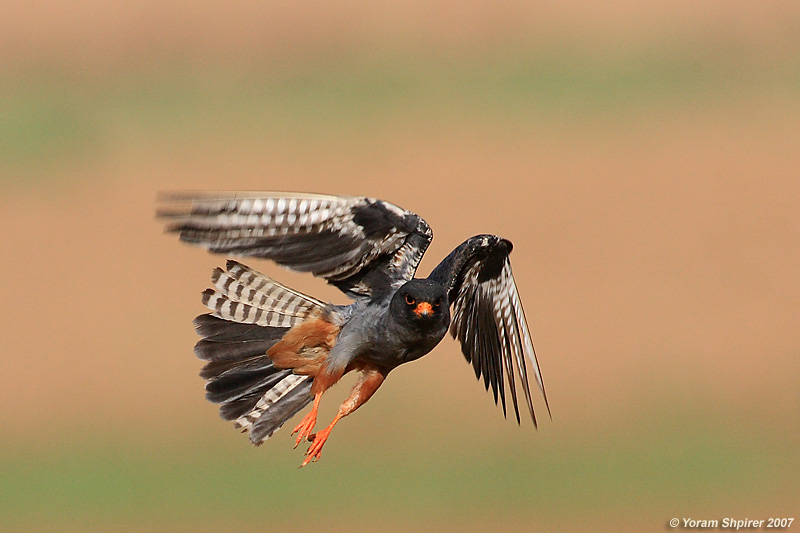 Red-footed Falcon (Male)