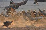 Title: Griffon Vultures and Wolf