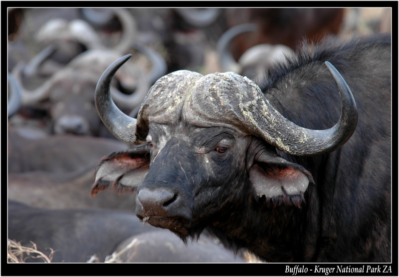 Buffalo - Big Five