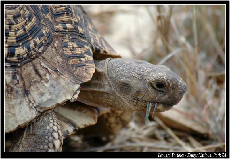 leopard Tortoise - Little Five