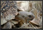 Title: leopard Tortoise - Little Five