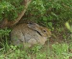 Title: Black-naped Hare
