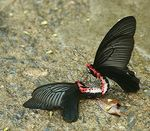 Title: Common Batwing
