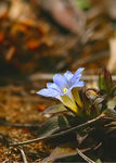Title: Gentian Sp. in Vietnam
