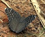 Title: Guineafowl Butterfly