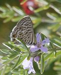 Title: Langs short-tailed blue