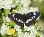 Title: Southern White Admiral