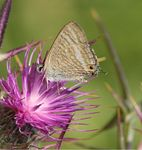 Title: Long tailed blue