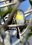 Title: Northern Parula