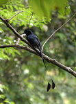 Title: Racket tailed drongo