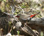Title: Red-eared Firetail